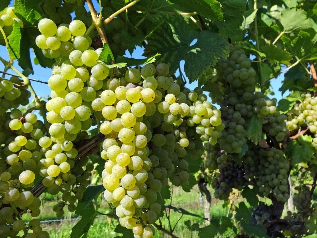 Weißweintrauben - Ausgangsmaterial für OPC